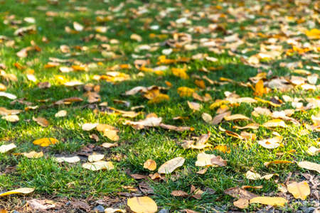 Autumn leaves fell from the tree on the green grass in the park, copy space Banque d'images