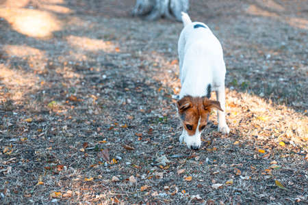 Dog Jack Russell walks in the park Imagens