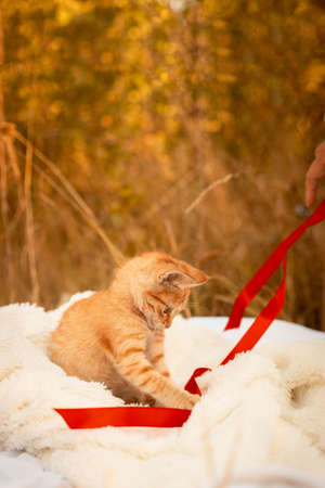 Small ginger tabby kitten playing with a red satin ribbon on blanket in the park in nature. Vertical orientation