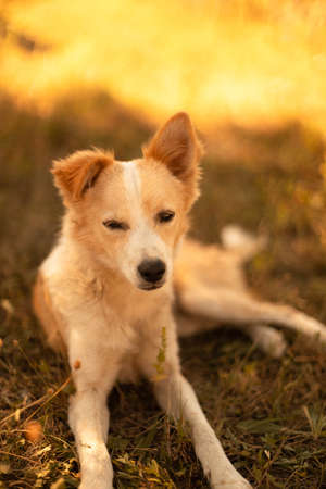 Cute redhead white dog lies and rests on the grass in the park, vertical orientation. Beautiful horizontal landscape view of golden grass field