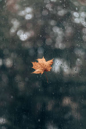 Drops of rain and maple leaf on the wet window glass 版權商用圖片