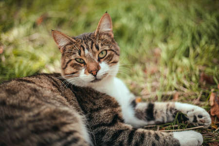 Panoramic shot of a striped curious adult cat is looking at the camera. Selective focus on the eyes. Stock Photo