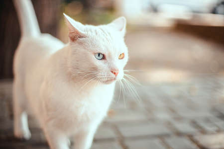 Beautiful white fluffy wool cat with different color eyes on the street. Angry muzzle with long mustache. Kitty looks to the side