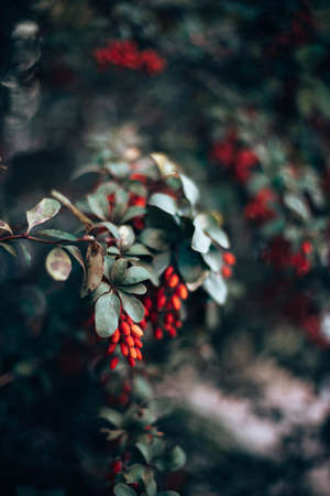 Red barberry berries ripened on green branches. Harvest. Wild berries. Stok Fotoğraf