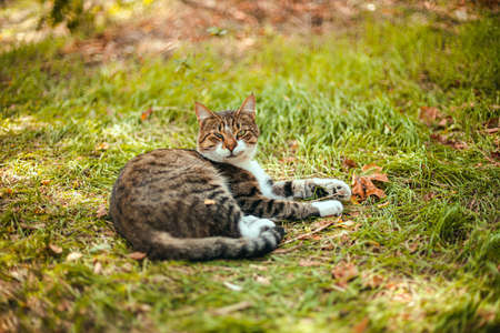 White gray striped cat lies on a green lawn in the park and rest. Adult cat looking at the camera