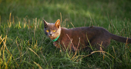 Gray sad cat with yellow eyes in the grass looks into the camera. Horizontal banner. Sunny summer day