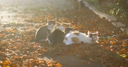 Adult cats and little kitten walk outdoors on fallen leaves in the autumn garden.