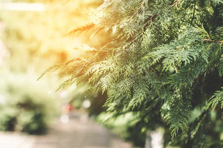 Evergreen eco coniferous thuja plant alley in the park in summer 版權商用圖片 - 162157015