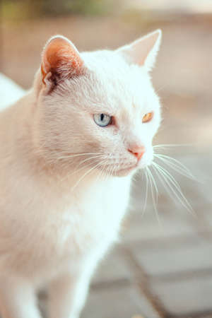 Portrait of a beautiful white cat with different colored eyes. Heterochromia 版權商用圖片