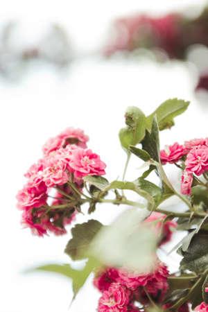 Close up bush of tender light pink rose flowers. Branches of flowering plants in spring. 版權商用圖片