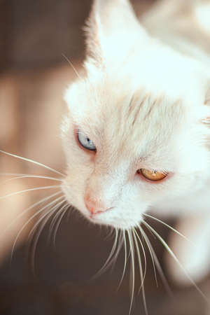 Portrait of beautiful white cat with different colored eyes with a long mustache. Heterochromia 版權商用圖片