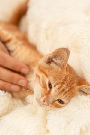 Cute little domestic red striped kitten is sleeping on a light bedspread. A charming cat with a pink nose resting on a blanket. Person hand stroking a kitten