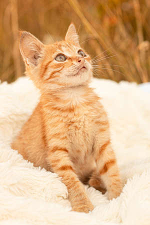 Small brown kitten sits on a white blanket. Cute orange cat looking up