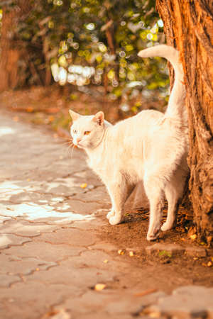 An adult beautiful white cat with different colored eyes rubs against a tree trunk in summer time