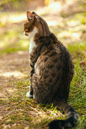 Back view of adult tabby brown cat sitting on a grass in summer time