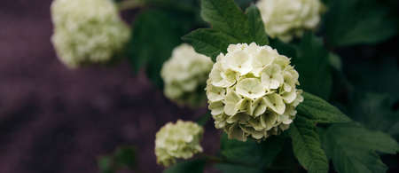 Beautiful white hydrangea or hortensia flower blossoms in summer garden in countryside. Nature summer background, Horizontal panorama banner