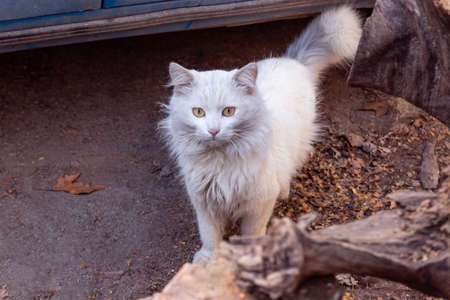 Neglected stray feral dirty white cat standing and looking at camera on ground outside