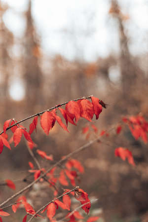 Beautiful bush plant with red leaves densely growing in autumn forest day
