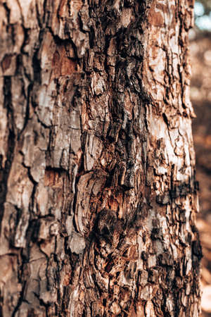 Close up shot of tree trunk with bark.Natural wood texture