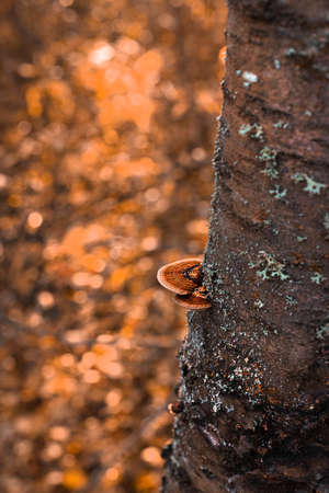 lichen mushroom on the tree. Chaga mushroom on old birch trunk close up. Red parasite mushroom growth on tree. Bokeh background.