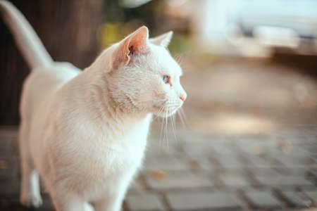 White angry white cat with Heterochromia looks to the side on the street