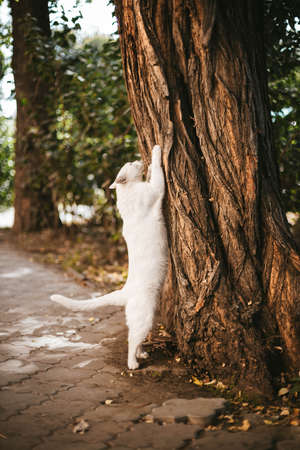 Big white cat is scratching an oak tree paired in the street.Animal scratches tree with claws