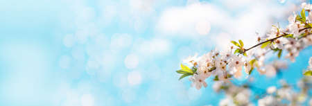 Beautiful cosmos spring banner or horizontal background with delicate blooming cherry blossoms on a blue background. Romantic congratulatory card