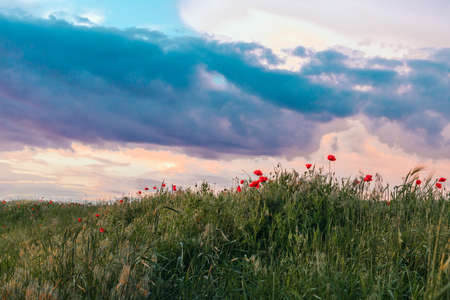 Red poppies in the field in the sunset with selective focus. Glade of red poppies in evening nature. Beautiful sunset sky. Nature sky backgrounds.