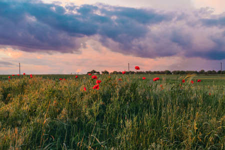 Panoramic view of poopy field on a hill with color blue sky. Glade of red poppies in evening nature.