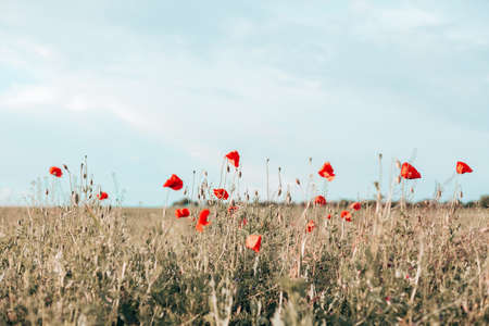 Hello spring. Panoramic view of poopy field on a hill with color blue sky. Glade of red poppies in evening nature.