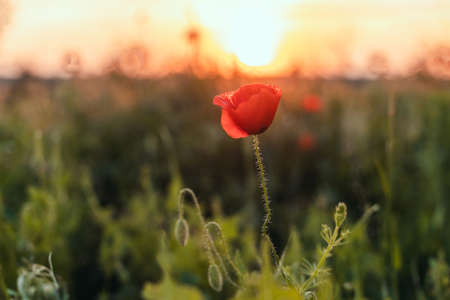Red poppies in the field in the sunset with selective focus. Banque d'images