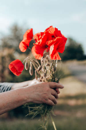 Womans hand holding red poppies bouquet at sunset in the field