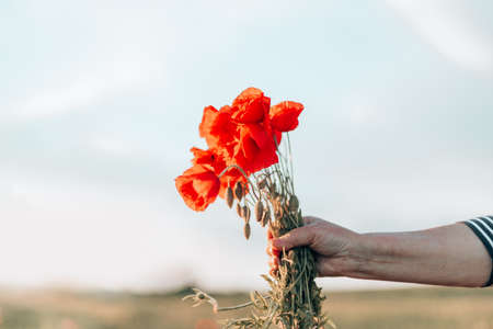 Close up of female hands holding red poppies bouquet at sunset in the field