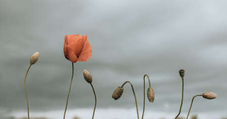 Poppy day. Red poppies in the field in the sunset. Remembrance day, Veterans day, lest we forget concept Banque d'images