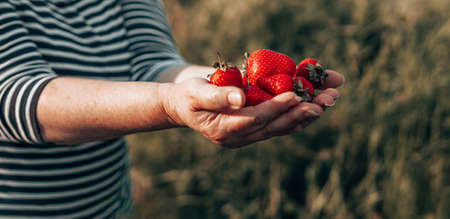 Summer dessert. Female hands with handful of ripe strawberries. Healthy rural organic harvest in the garden. Woman hands holding ripe juicy strawberries.