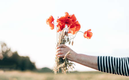 Close up of woman hand holding red poppies bouquet at sunset in the field
