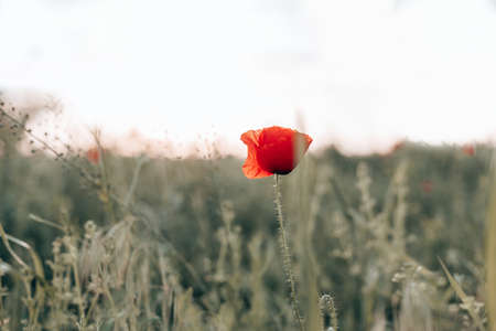 Red poppies in the field in the sunset with selective focus. Glade of red poppies. Hello spring.
