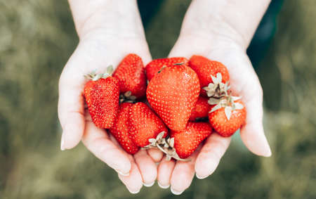 Close up of female hands hold and pick many fresh strawberries. Healthy rural organic harvest in the garden.