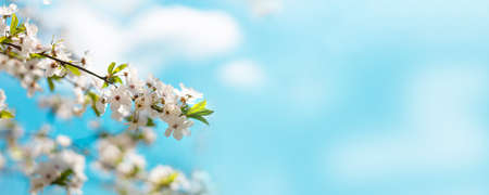 Closeup of blooming cherry tree in spring on pastel bokeh background. Beautiful border banner. Abstract blurred background. Spring time