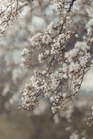 Minimal spring nature scene with white blossoming cherry tree branches in sunlight. Abstract blurred web banner background. Soft selective focus Banque d'images