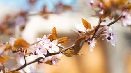 Closeup of blooming cherry tree in spring on pastel bokeh background. Beautiful border banner. Abstract blurred background.
