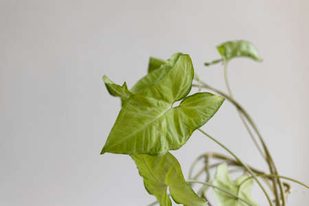 Beautiful Syngonium liana plant against a gray background. Empty white wall and copy space