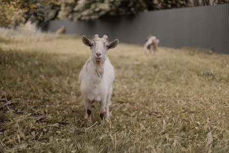 Portrait of white goat with horns in pasture