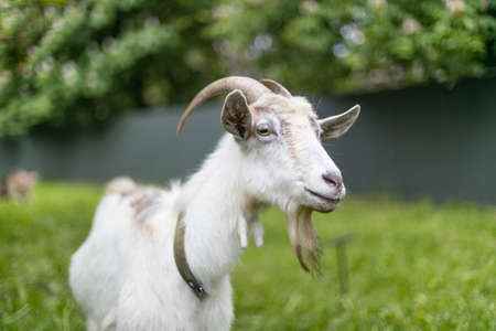 Cute young white goat with large horns eats grass in a village meadow. Summer or spring. Banque d'images