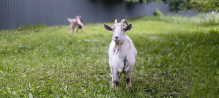 White adult goat looks at camera on a green summer meadow field in the countryside