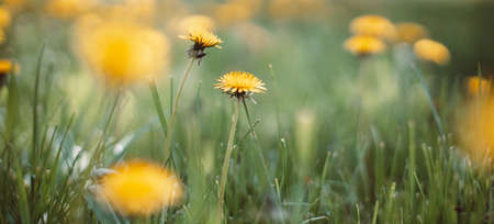 Spring green field with yellow dandelions on a sunny day. Long horizontal banner with copy space. Soft selective focus