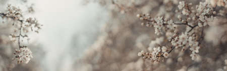 Beautiful light spring banner or horizontal background with delicate blooming apricot or cherry blossoms in sunlight. Shallow depth of field Banque d'images