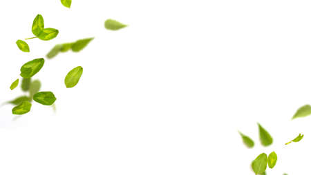 Random flying fresh green clover leaves frame isolated on white background. Horizontal panorama banner with copy space