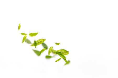 Flying leaves of green mint leaves falling in the air on white background. Food levitation concept