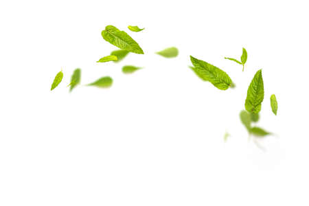 Flying leaves of green mint spearmint leaves falling in the air on white background. Food levitation concept